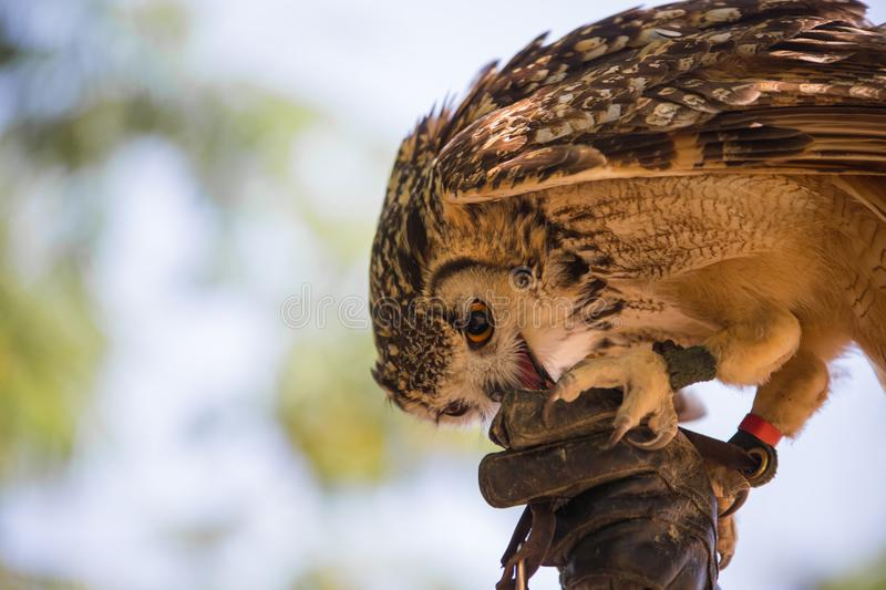 Bubo bubo - Real owl. On the falconer`s glove stock image