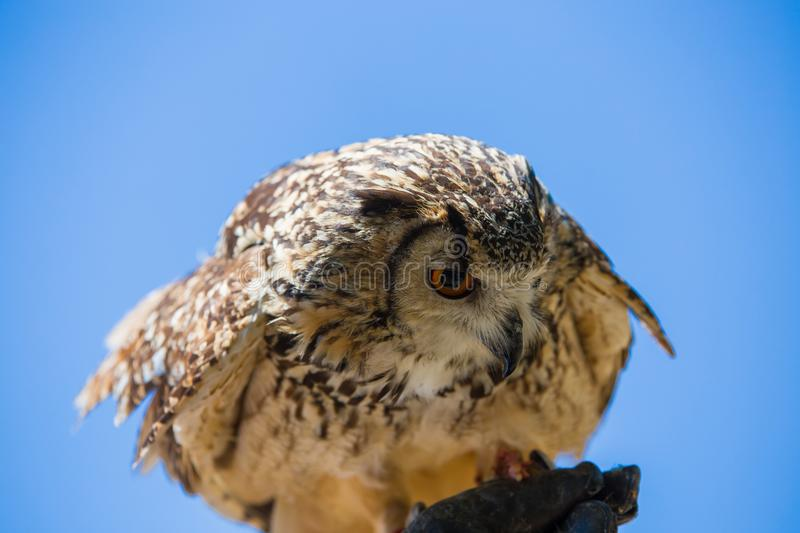 Bubo bubo - Real owl. On the falconer`s glove stock photo