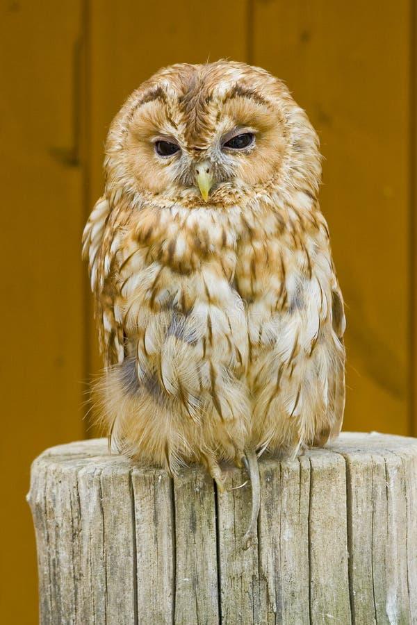 Bubo - Sleeping Owl in the Zoo stock photos