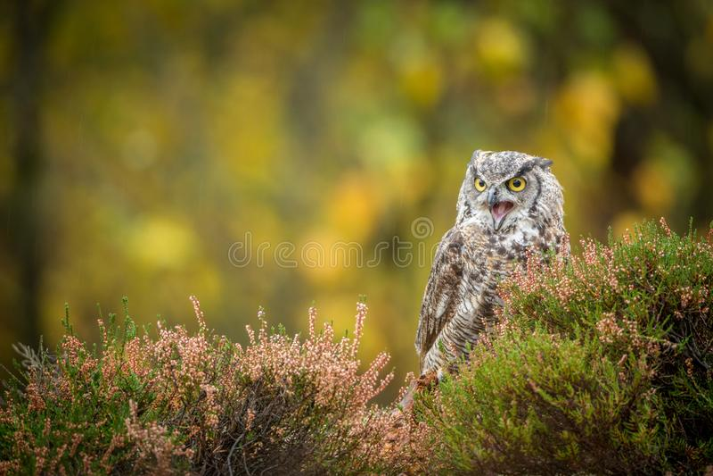 Bubo virginianus sitting on the ground. Bubo virginianus - owl sitting on the ground into forest at autumn stock image