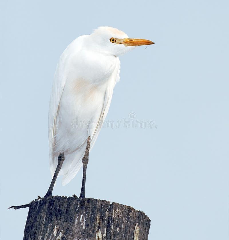 bubulcus bydło egret ibis obraz royalty free