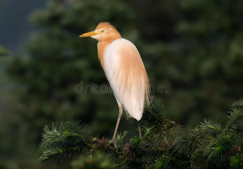 Bubulcus Ibis del egret di bestiame fotografie stock