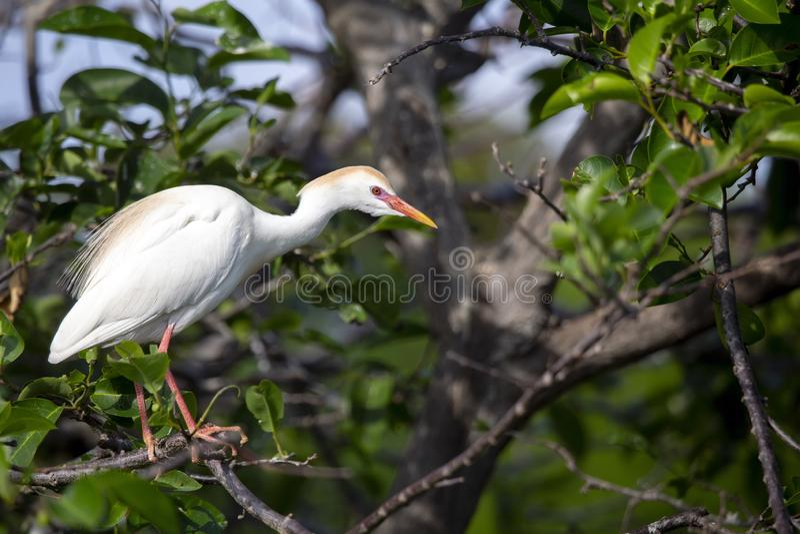 Bubulcus ibis do egret de gado fotografia de stock royalty free