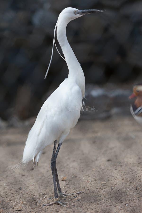 bubulcus ibis Egret скотин стоковые изображения