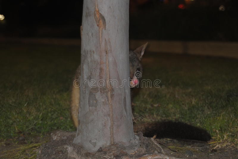 Bubusettete dell'opossum fotografia stock libera da diritti