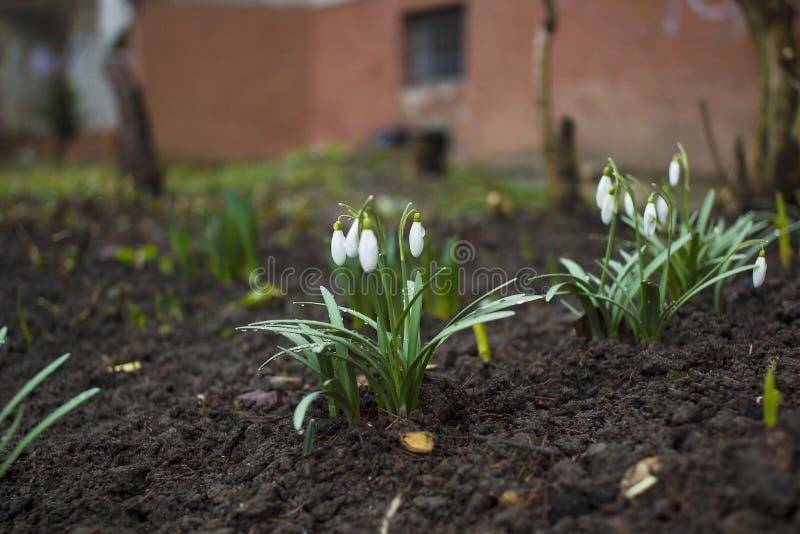 Bucaneve bianchi in gocce di rugiada che crescono nel giardino Fiore di Galanthus fotografia stock