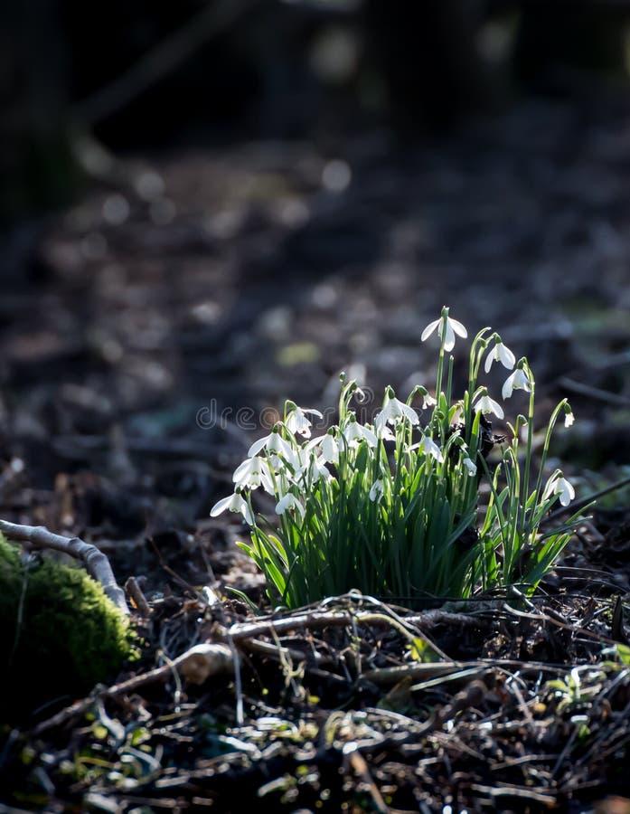 Bucaneve comuni (nivalis di Galanthus) con il sole che prende i fiori fotografia stock libera da diritti