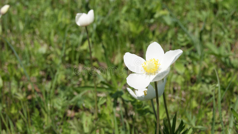 Bucaneve, fiore bianco immagini stock libere da diritti