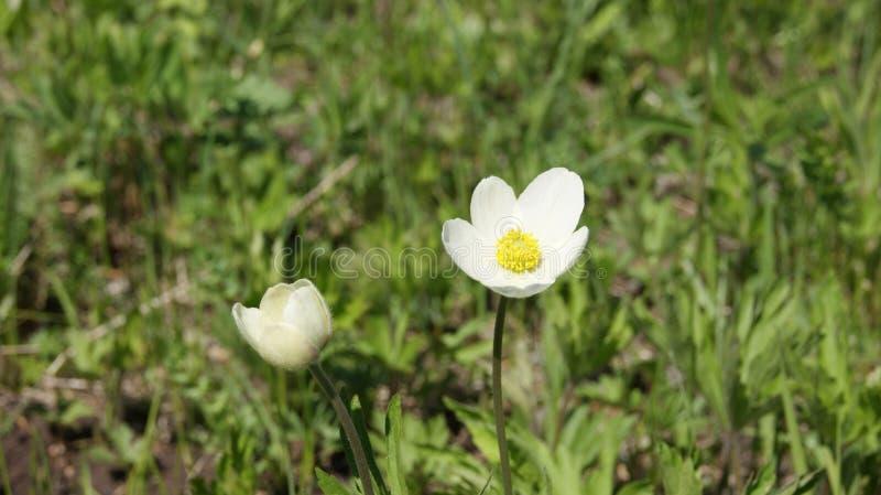 Bucaneve, fiore bianco fotografie stock