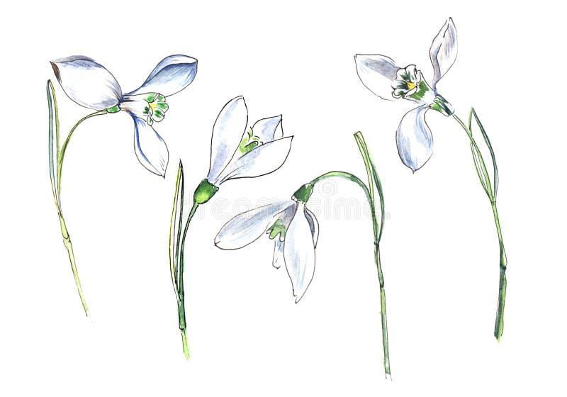 Bucaneve Metta di quattro piccoli fiori bianchi Illustrazione disegnata a mano dell'acquerello su una carta strutturata illustrazione di stock