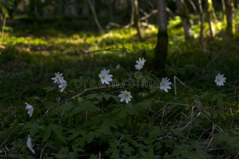 Bucaneve nel boschetto della foresta immagini stock