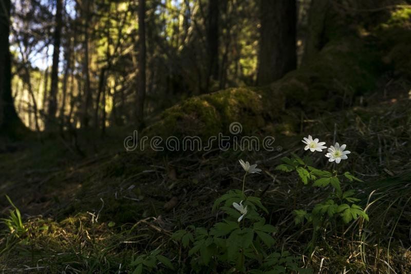 Bucaneve nel boschetto della foresta fotografie stock