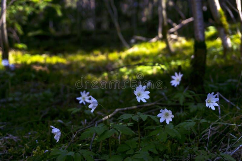 Bucaneve nel boschetto della foresta fotografia stock libera da diritti