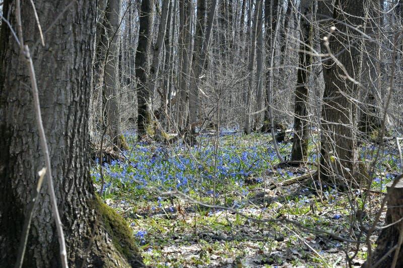 Bucaneve nella foresta un giorno soleggiato immagine stock