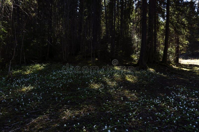 Bucaneve su una radura ombreggiata della foresta un giorno soleggiato immagine stock libera da diritti