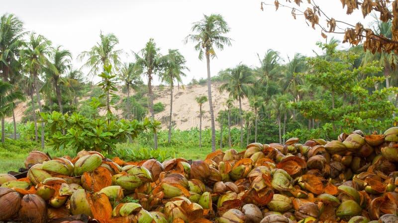 Bucce disposte della noce di cocco sulla terra immagine stock