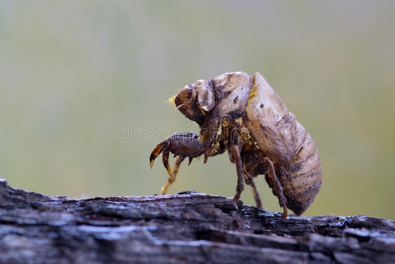 Buccia vuota della cicala dopo avere mudato immagini stock