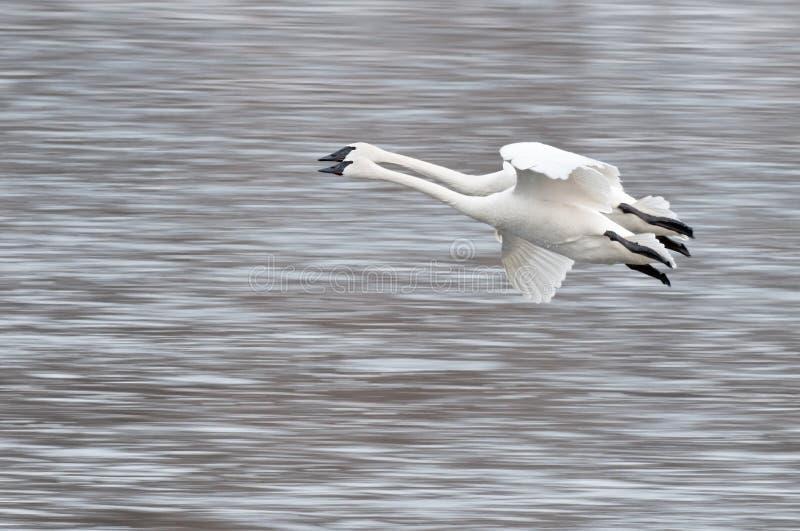 Download Buccinator трубач 2 лебедей мухы Cygnus Стоковое Фото - изображение насчитывающей wildlife, биографической: 18399130