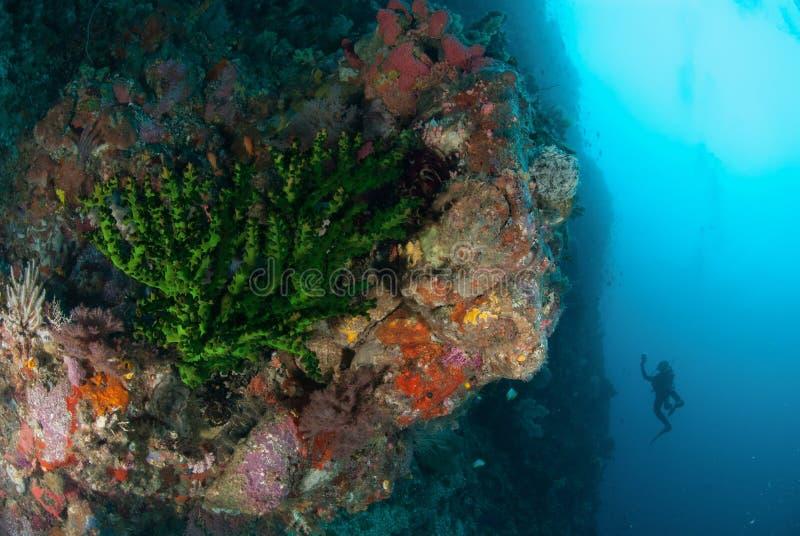 Buceador, coral negro del sol en Ambon, Maluku, foto subacuática de Indonesia foto de archivo