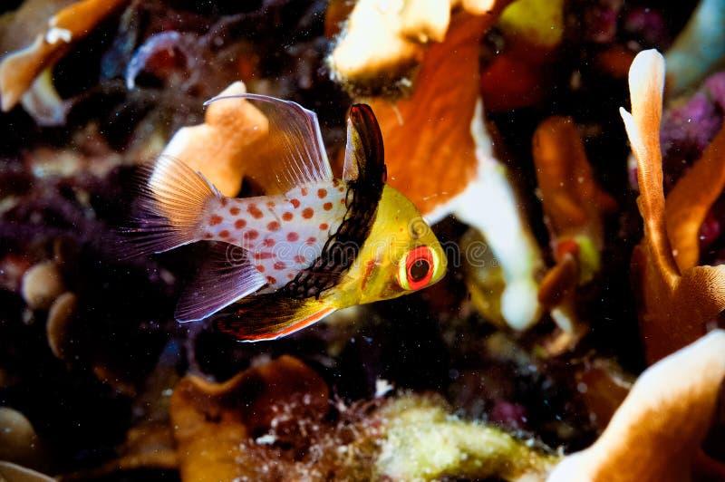 Buceador del kapoposang del cardinalfish del pijama del nematoptera de Sphaeramia foto de archivo