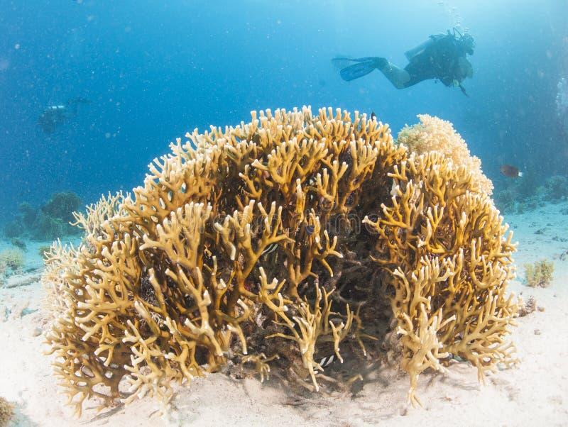 Buceador en el arrecife de coral tropical foto de archivo libre de regalías