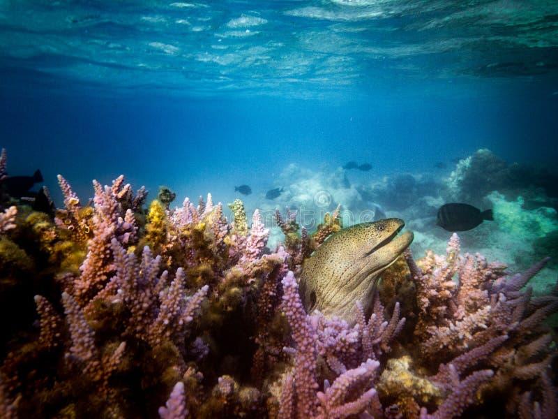 Buceando en Marsa Alam, Egipto Arrecife de coral y Moray foto de archivo