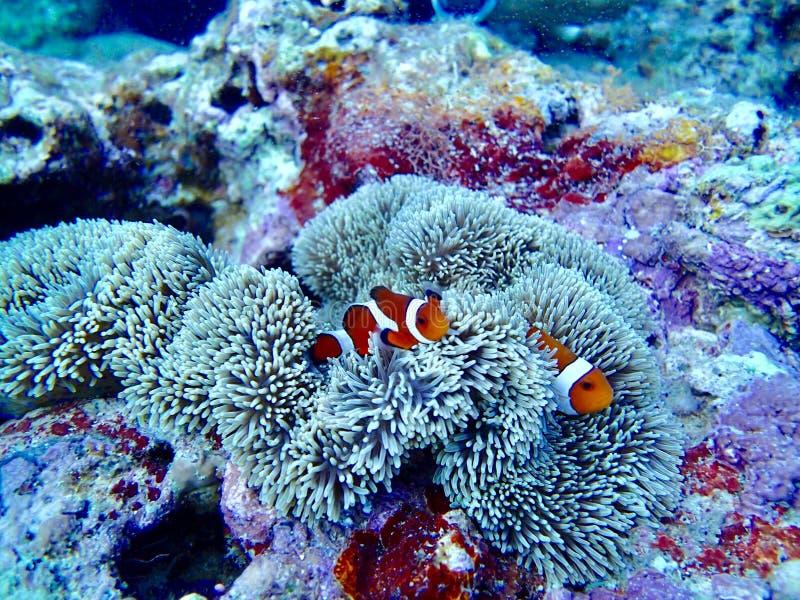 Buceo con escafandra de la isla de Clownfish Okinawa foto de archivo