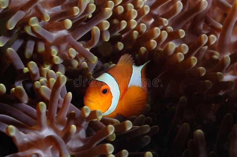 Buceo con escafandra de ocultación de Aceh Indonesia de la anémona de los pescados imagen de archivo