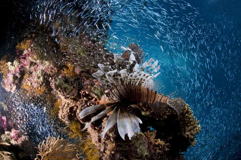 Buceo con escafandra, pescado del león, arrecife de coral, pescado, vida marina imagen de archivo