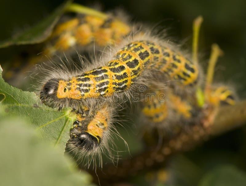 Bucephala van Phalera stock foto's