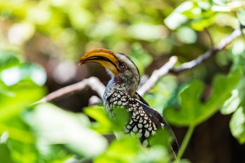 Bucero dal becco giallo che si siede su un brach fra le foglie fotografia stock