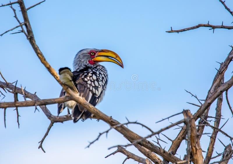 Bucero dal becco giallo del sud al Nxai Pan Nationalpark nel Botswana fotografie stock