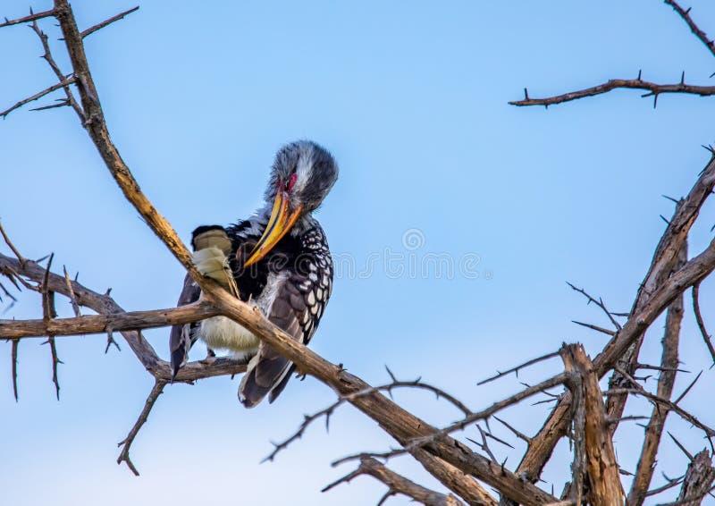 Bucero dal becco giallo del sud al Nxai Pan Nationalpark nel Botswana fotografie stock libere da diritti
