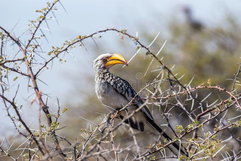 Bucero dal becco giallo del sud appollaiato in un albero fotografia stock