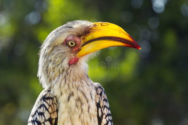 Bucero dal becco giallo del sud, parco nazionale di Kruger, Afr del sud fotografie stock libere da diritti