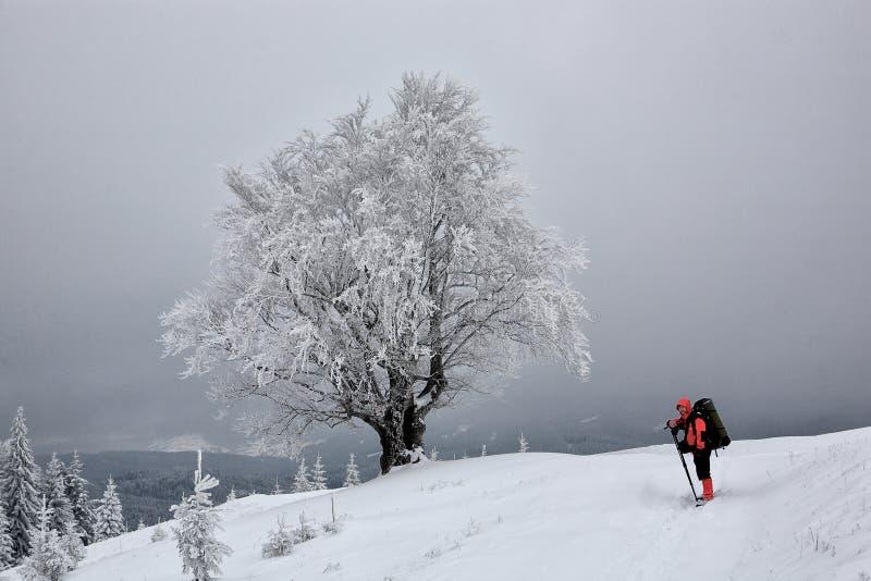 Buche, bedeckt mit Frost Winter stockfotografie