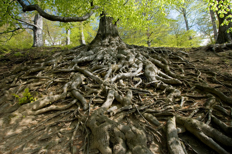 Buchebaumwurzeln im Wald lizenzfreies stockbild