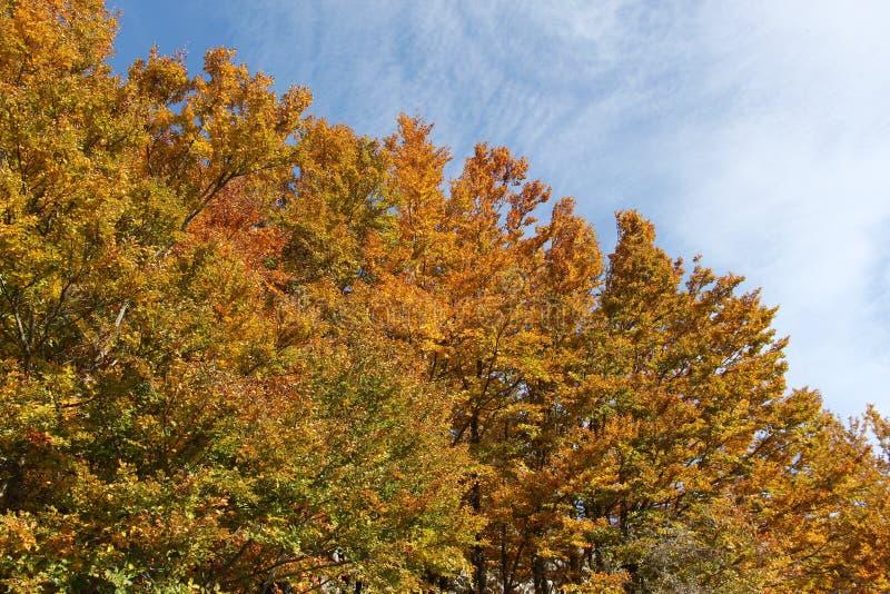 Buchen im Herbst, in den Niederlassungen und in den Blättern stockfoto