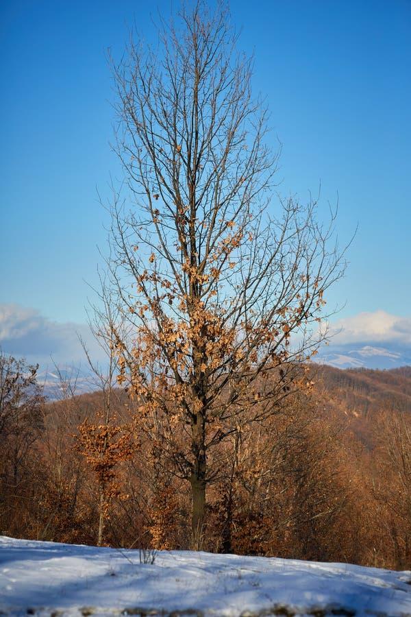 Buchenbaum in der Winterzeit lizenzfreies stockbild