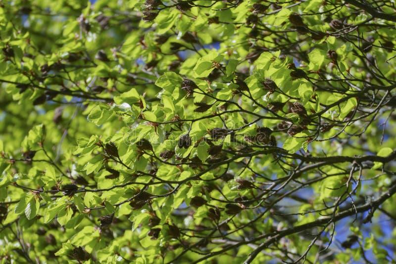 Buchenbaum mit Bucheckernoberteilen und gezackten Blättern im Frühjahr stockfotos