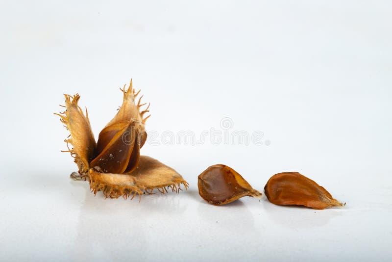 Buchenbaumfrucht auf einem Leuchtpult Samen des Laubbaumes stockfoto