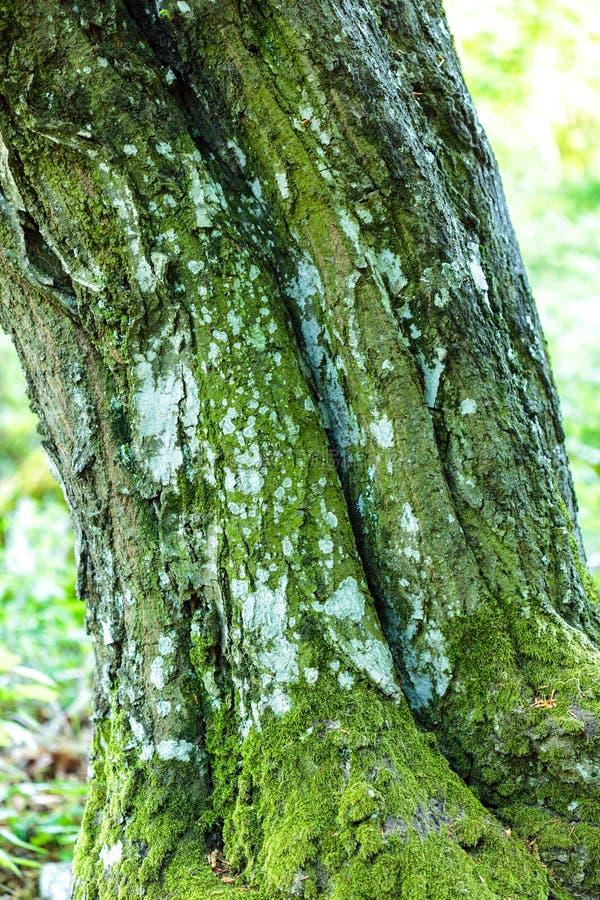 Buchenbaumrinde stockfotos