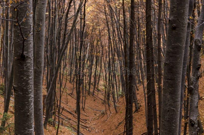 Buchenbaumstammwald im Herbst lizenzfreie stockfotos