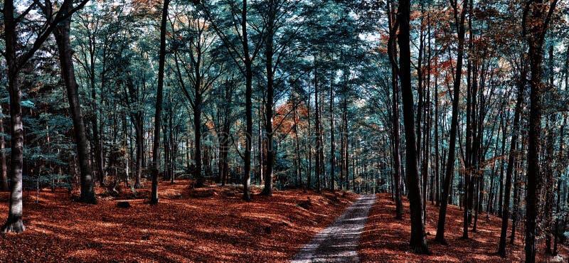 Buchenbaumwald/-waldland mit Schotterstraße am Herbstnachmittagstageslicht lizenzfreies stockbild