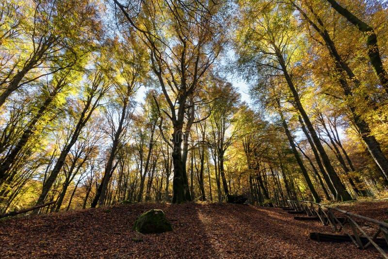 Buchenwald mit Bäumen in der Hintergrundbeleuchtung Trockene Blätter des Unterholzes Herbstfarben, -niederlassungen und -stämme o stockfoto