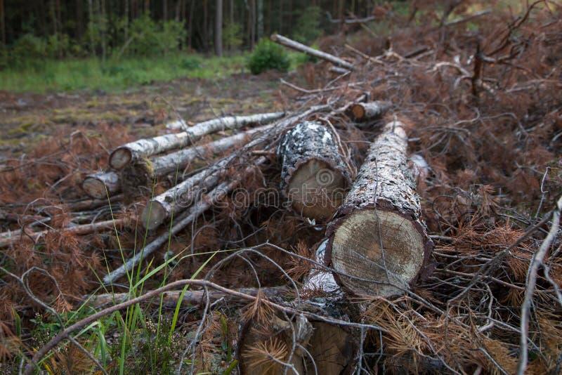 Bucheprotokolle, nachdem im Pirin Berg, Bulgarien geverringert werden Abholzung, Bauholz Bäume und Niederlassungen verringerten stockbild