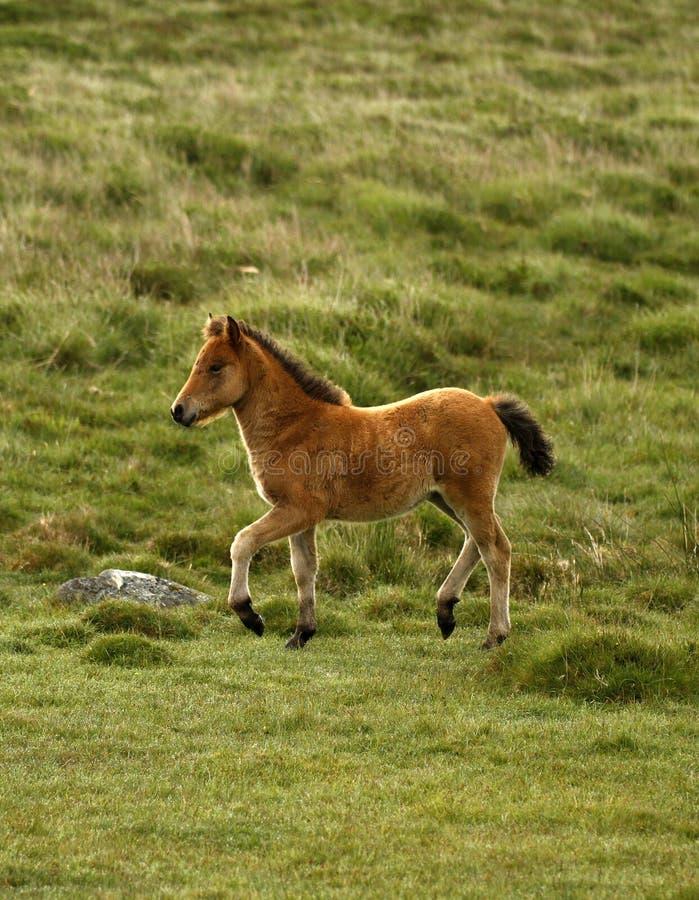 Bucht Dartmoor Pony Foal stockbilder
