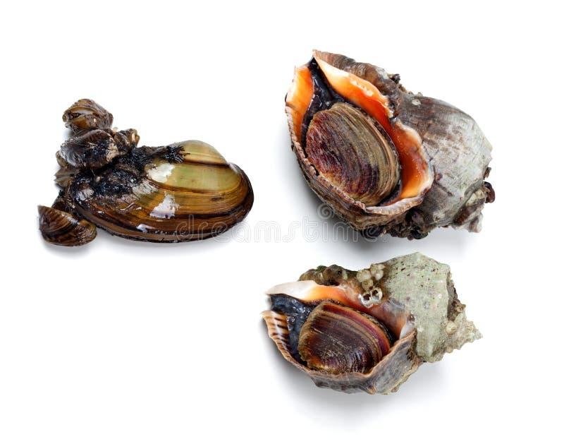 Bucino del rapa y mejillón veteados dos del río (anodonta) imágenes de archivo libres de regalías