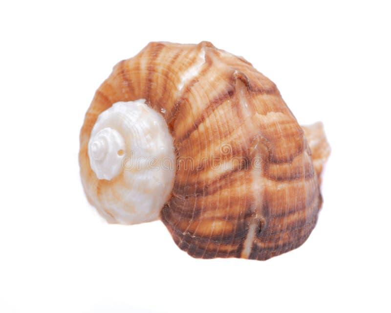 Bucino grande Shell de Rapana aislado en blanco fotos de archivo
