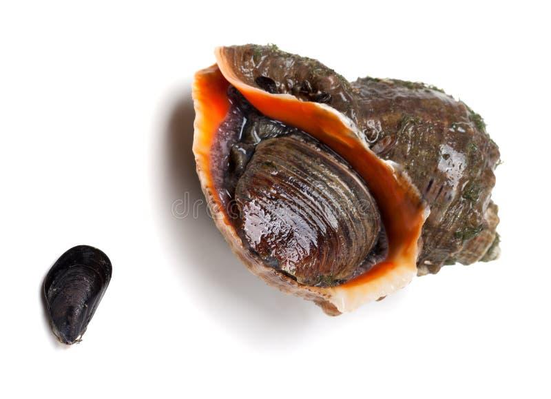Bucino veteado del rapa y pequeño mejillón del Mar Negro imágenes de archivo libres de regalías